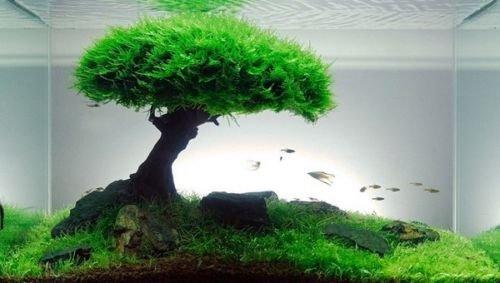 Fern Fish (Xmas Moss-Live Aquarium Plant Java Fish Tank Fern Aquatic Seed Green Pond)
