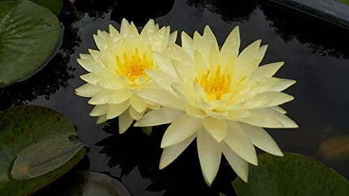 TexasWater Lily Plentree Seeds Package Pond Plants Water Lilies Aquatic Plants
