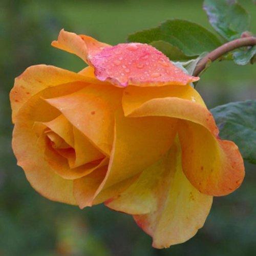 50 Pcs Yellow Rose Seeds DIY Home Garden Dec