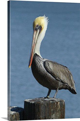 Thick mature bird
