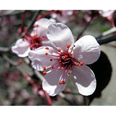 "AchmadAnam - 2.5"" Pot - Purple Leaf Sand Cherry - Prunus cistena, Plant, Bush, Shrub : Garden & Outdoor"