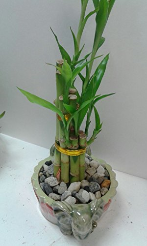 Natural Lucky Bamboo Plant In Decorative Vase Feng Shuigifts Home Decor