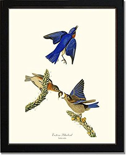 Bird Print Audubon Vintage Art: Eastern Bluebird (For Sale Framed Bird Prints)