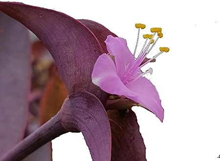 Amazon Com Purple Queen Heirloom Ground Cover Live Tropical