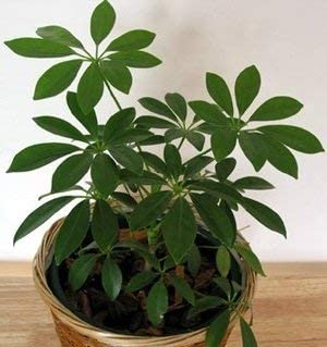 10 Seeds of Schefflera arboricola or Pittmans Pride