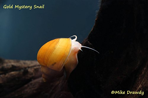 Imperial Tropicals 4 Gold Mystery Snails (Pomacea bridgesii Over 1/2'-1') Great...