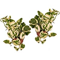 Efeutute, Scindapsus, (Epipremnum aureum) Sorte: N'Joy, weiss buntes Blattwerk, rankend, Ampelpflanze, luftreinigend