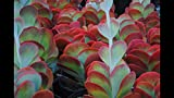 HIGH Germination Seeds:Kalanchoe luciae Flaps Best Value On Ebay 4 Cuttings Fall Special!!!