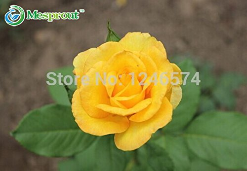 China Yellow Roses - 50 Seeds Bonsai China Yellow Rose Semillas Dancing Queen Yellow #32304997189ST