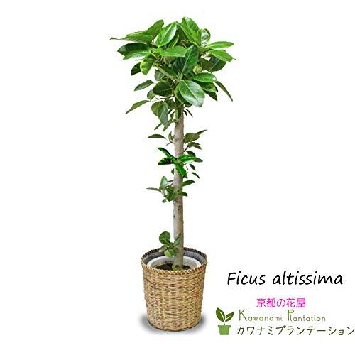 観葉植物 アルテシーマゴムの木 10号 【鉢カバー付】 B014HP9CDE