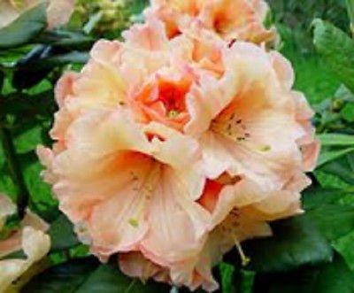 (Apricot Blush Rhododendron Seeds Shrub)