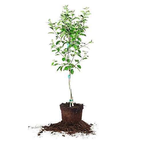 red-delicious-apple-tree-size-5-6-ft-live-plant-includes-special-blend-fertilizer-planting-guide