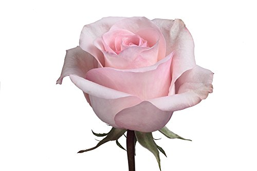 Bulk Light Pink Roses - Arleen 100 stems (22 inch) by BloomsyBox