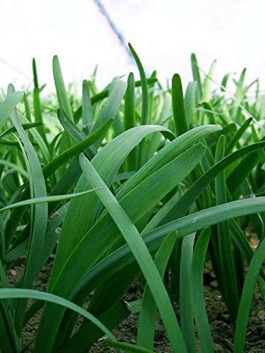 Go Garden 1000Mg Garlic Chives Seeds (Chinese Leek Seeds)- Organic, Non-GMO