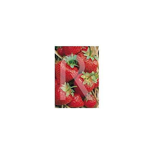 Rocalba - Semilla de fresa: Amazon.es: Jardín