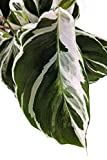Fusion White Peacock Plant - Live Plant in a 4 Inch