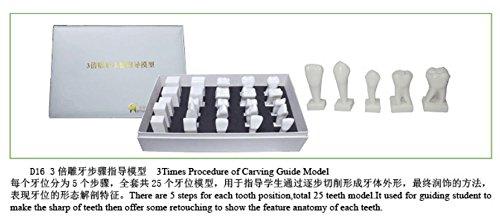 S&D Dental Teaching Demonstration Model 3 Times Procedure of Carving Guide Model