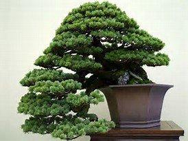 White Pine Tree Bonsai (15 Seeds Western White Pine Bonsai Tree)