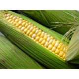 David's Garden Seeds Corn Sweet Ambrosia D116COR (Bi-Color) 100 Hybrid Seeds
