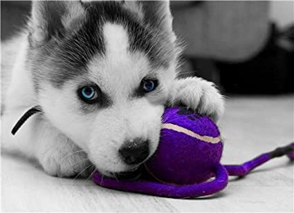 Amazon Com Siberian Husky Puppy Glossy Poster Picture Photo Dog