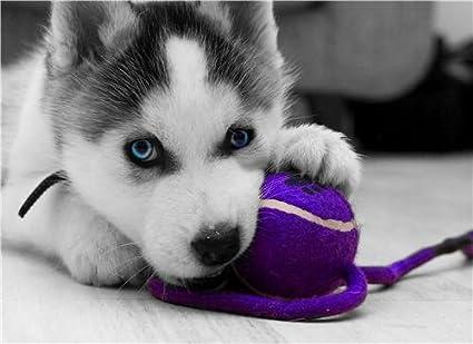 Amazoncom Siberian Husky Puppy Glossy Poster Picture Photo Dog