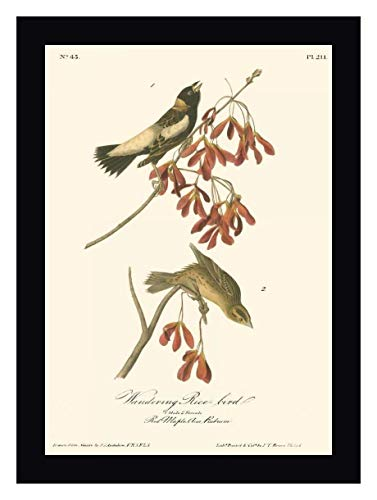 (Wandering Rice Bird by John James Audubon - 17