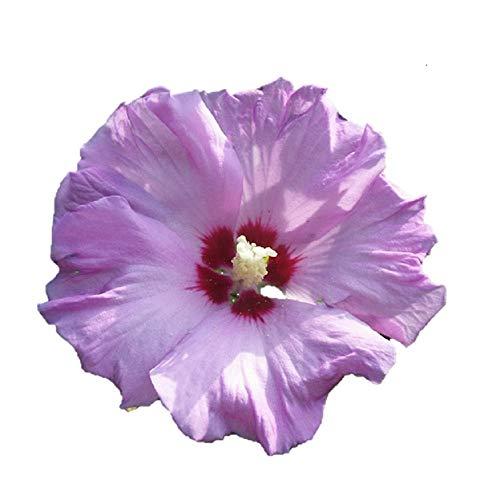 Rose of Sharon - Purple - Bush/Shrub-Bare Root-Healthy Plant- 3 pack