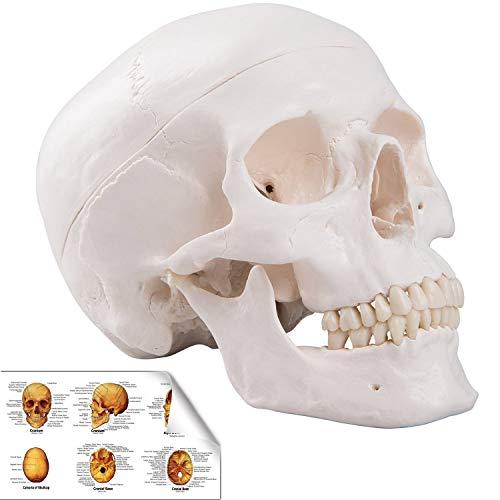 RONTEN 인간 해골 모델 레플리카 현실적인 인간 해골 머리 뼈 모델 / RONTEN 인간 해골 모델 레플리카 현실적인 인간 해골 머리 뼈 모델
