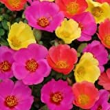 HEIRLOOM NON GMO Purslane (Portulaca Oleracea Toucan Hot Mix) 25 seeds