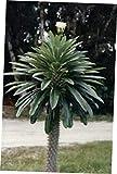 LAY 4 Inch Cactus Succulent Plant Pachypodium Geayi ~ Madagascar Palm - RK158