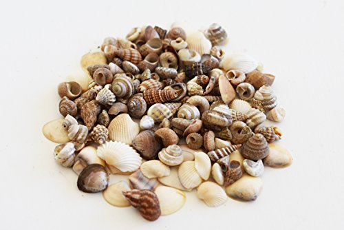 (Baggie of 200 (2 oz) Tiny Indian Ocean Shell Mix Mini Shells 1/4