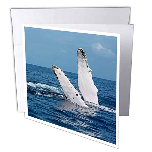 3dRose Danita Delimont - Whales - A Humpback Whale Floats on its Back, Silver Bank, Dominican Republic - 1 Greeting Card with Envelope (gc_312990_5)