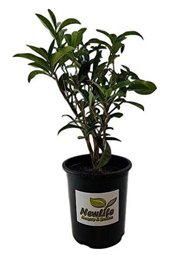 New Life Nursery & Garden / - / - Fudingzhu Fragrant Tea Olive ((Osmanthus) - /), Trade Gallon Pot by New Life Nursery & Garden (Image #3)