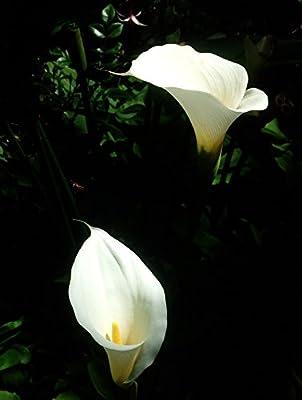 "1 ""Vanilla"" White Calla Lily Bulbs - Graceful, Medium Height"