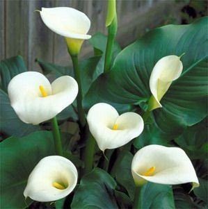 amazon com giant white calla lily bulbs garden outdoor