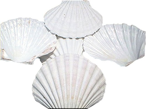 Set of 12 Large White Baking Scallop (3.5