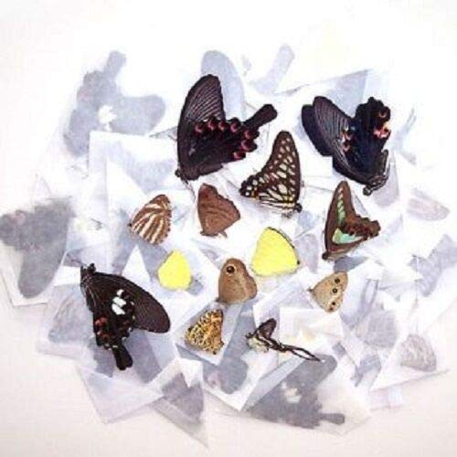 10 Butterfly Moth Papered Unmounted Wings Closed Wholesale Lot Mix