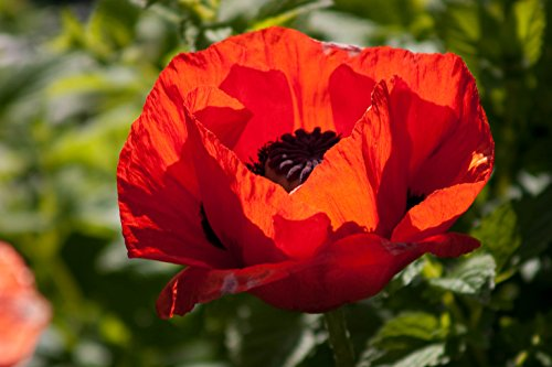 1000 Red TURKISH POPPY Heirloom Papaver Somniferum Flower Seeds