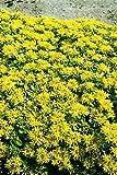 Sedum (Stonecrop) selskianum Selsie 2,000 Seeds
