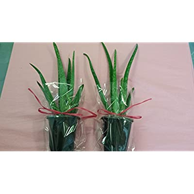 jmbamboo-Two Healthy Strong Aloe Vera-with-moss Plants 8 Inches Tall with Strong Roots.: Everything Else