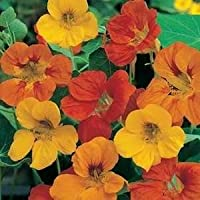Irish Eyes Garden Seeds- Alaska Nasturtium Mix 1/4 lb
