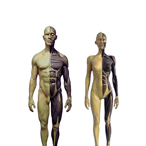 2-Set 1/6 Scale Resin Human Male and Female Anatomy Model 12 inches Muscular System Figures Dyed Muscle Color Version