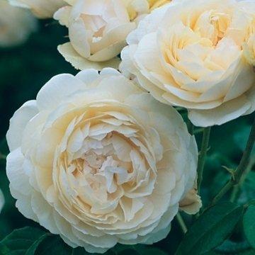 David Austin English Roses Windermere