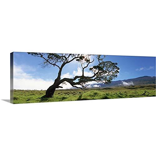 GREATBIGCANVAS Gallery-Wrapped Canvas Entitled Koa Tree on a Landscape, Mauna Kea, Big Island, Hawaii by 60