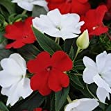 (AIMNG)~DIVINE RED-WHITE MIX NEW GUINEA IMPATIENS-Seeds!~A Brilliant Blend!