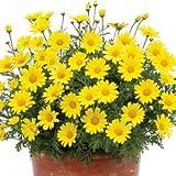 """Argyranthemum-Golden-Butterfly - 4 1/2"""" Pot (Annual)"""
