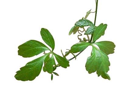 Jiaogulan Pflanze der Unsterblichkeit 25 Samen