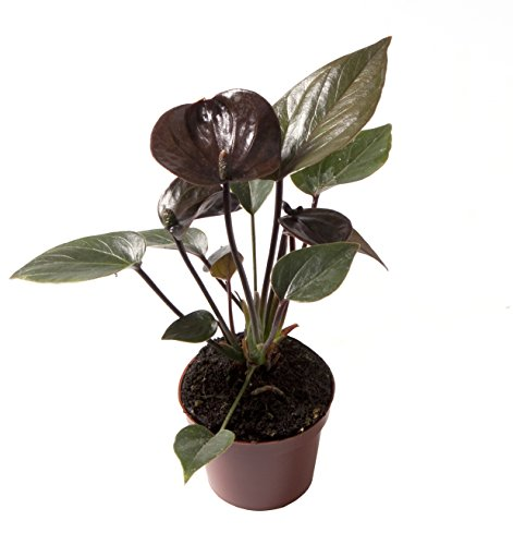 Anthurium Dark Chocolate - Live House Plant - Easy to Grow - Florist Quality - Cleans the Air by Florida Foliage