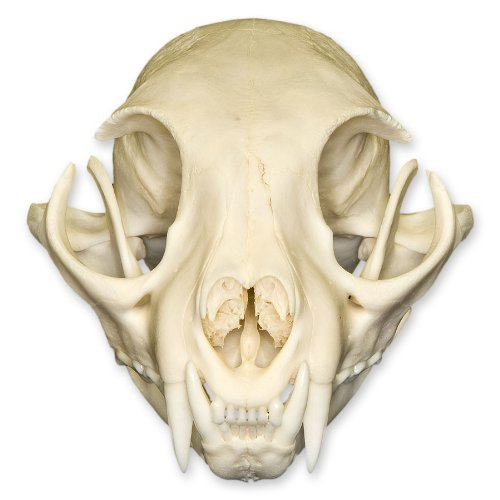 Real Bobcat Skull – Perfect