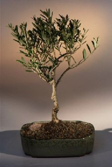 Bonsai Boy's Flowering and Fruiting Arbequina Olive Bonsai Tree arbequina